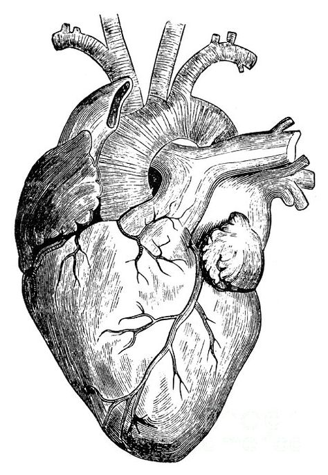 """Realistic heart drawing """" Photographic Print by RockyMountains . Drawing Tips heart drawing Realistic Heart Drawing, Human Heart Drawing, Drawing Faces, Human Heart Tattoo, Heart Drawings, Human Art, Anatomical Heart Drawing, Art Du Croquis, Heart Sketch"""