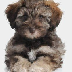 Teddy Bear Schnoodle Puppies For Sale Google Search Schnoodle