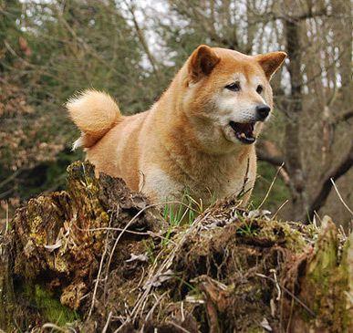 Droll Shiba Inu Puppy Cost In 2020 Shiba Inu Shiba Inu Puppy