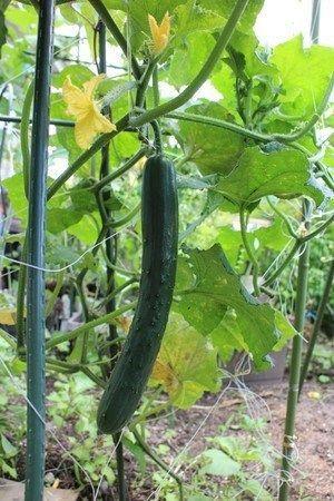 キュウリ 地植えの育て方 野菜作り なす 栽培 観葉植物