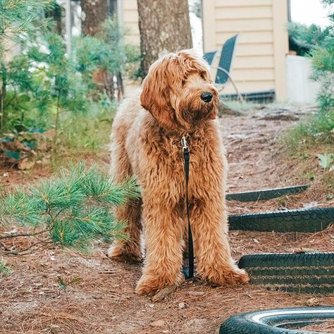 Elle is having a sleepover at grandma and grandpa's house and it sounds like she's having a blast!! 😁 🐶  .  .  .  #goldendoodle #goldendoodlesofinstagram #goldendoodlepuppy #rrgfamily #redroyalgoldendoodles #cabinlife #cabinfever #cabininthewoods #wisconsinlife #wisconsinphotographer #upnorth #llbean #llbeanpets #eddiebauercanineclub #adogslife #upnorthlife #upnorthwisconsin #travelgram #travelblogger #wisconsinblogger #puppylove #puppylife #puppiesofinstagram #dogsofinstagram    #R