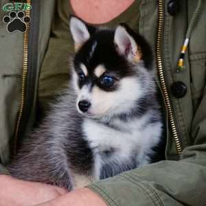 Skyla Pomsky Puppy For Sale In Ohio Pomsky Puppies For Sale Pomsky Puppies Puppies For Sale