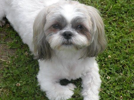Shih Tzu Puppies Small In Size Yet Big At Heart Shih Tzu Puppy