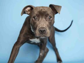 Adopt A Dog Puppy Adoptions Arizona Humane Society With