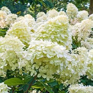 First Editions 3 Gal Vanilla Strawberry Hydrangea Flowering Shrub Vanilla Strawberry Hydrangea Flowering Shrubs Hanging Flower Baskets