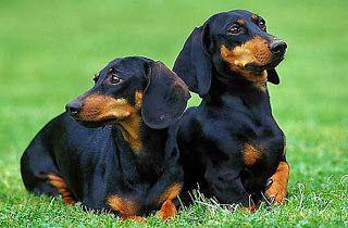 Black Tan Colored Shorthair Dachshunds Dachshund Dog Dog Breeds