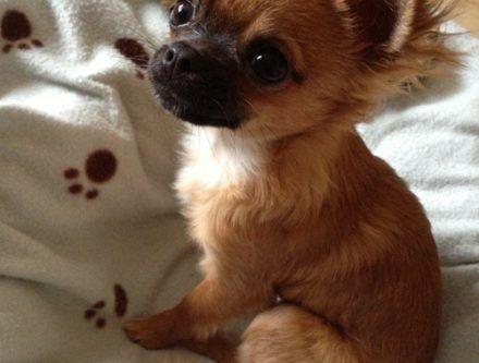 Chien A Donner Chien Bonheur Chien A Donner Chihuahua Croise Chien Gratuit