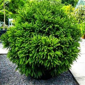 Cryptomeria Globosa Nana Dwarf Japanese Cedar 1 Gal Patio Lawn