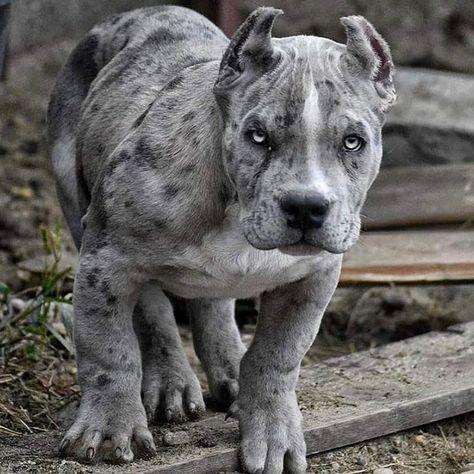 900 Ideas De Pit En 2021 Perros Mascotas Razas De Perros