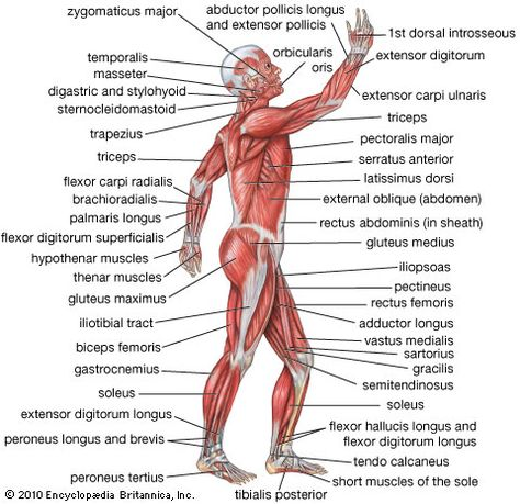 the human muscular system | muscular system | pinterest | human, Muscles
