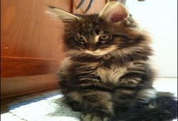 Maine Coon Kittens For Sale In Ct | Funny Cats | Maine coon
