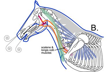 Specific Injuries to Dressage Horses From Being Ridden Behind the Vertical for Prolonged Periods
