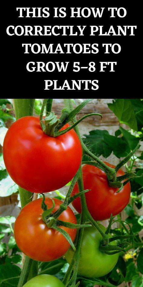 Tomato Farming, Tomato Trellis, Garden, Farm Gardens, Veg Garden, Planting Herbs, Plants, Tips For Growing Tomatoes, Growing Tomato Plants