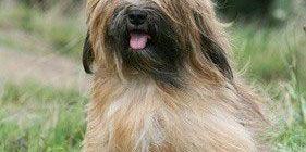 Tibet Terrier 2019 Charakter Wesen Terrier Tibet Terrier