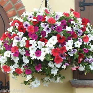 Details About Mixed Colors Hanging Petunia Flower Seeds Balcony Bonsai Calibrachoa 200 Seeds Flower Seeds Beautiful Flowers Garden