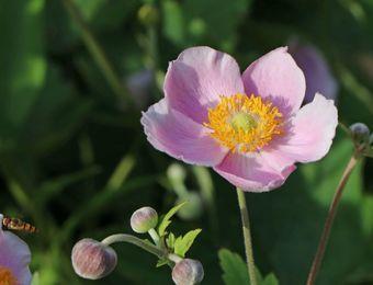 China Herbst Anemone September Charme Fur Deinen Garten In 2021 Anemone Rosa Blute Pflanzen