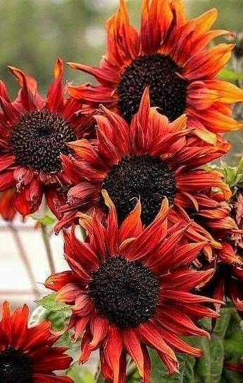 Pin By Becky Cagwin On Flowers Sunflowers Flowers Plants Fall Colors