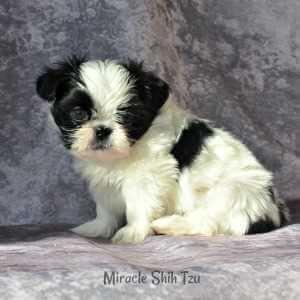 Shih Tzu Nursery A Shih Tzu Puppies For Sale In Ne Ohio Shih Tzu Puppy Puppies For Sale Shih Tzu
