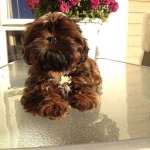 Shih Tzu By Tracey Cute Small Dogs Cutest Small Dog Breeds Shih Tzu