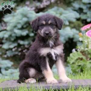 Siberian Husky Poo Puppies For Sale Greenfield Puppies Puppies
