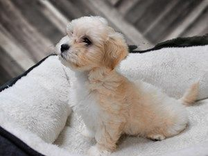 Teddy Bear Dog Male Brown White 2391329 Dogs For Sale Dogs Puppies