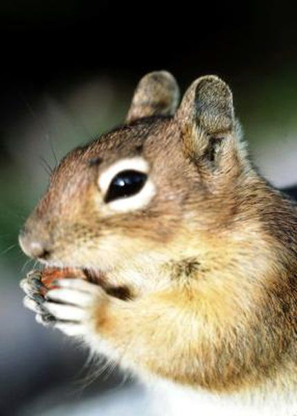 Raising Squirrels As Pets Baby Squirrel Care Pets Indoor Pets