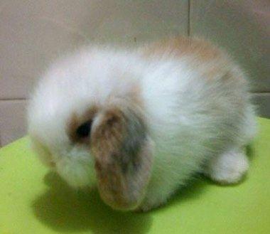 Jolly Rabbit Cute Baby Bunnies Pet Bunny Baby Rabbits For Sale