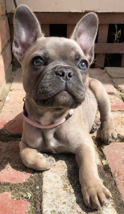 French Bulldog - Frenchie - Sweet little girl. #funnybulldog French Bulldog - Frenchie - Sweet little girl.