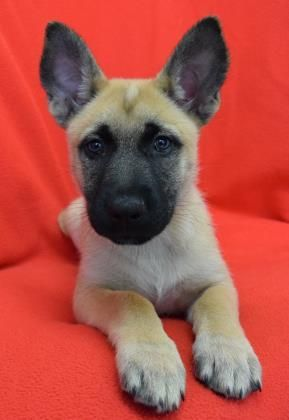 Adopt She Ra Now Georgia On Petfinder Malinois Puppies Dog Friends Dog Friendly Trails