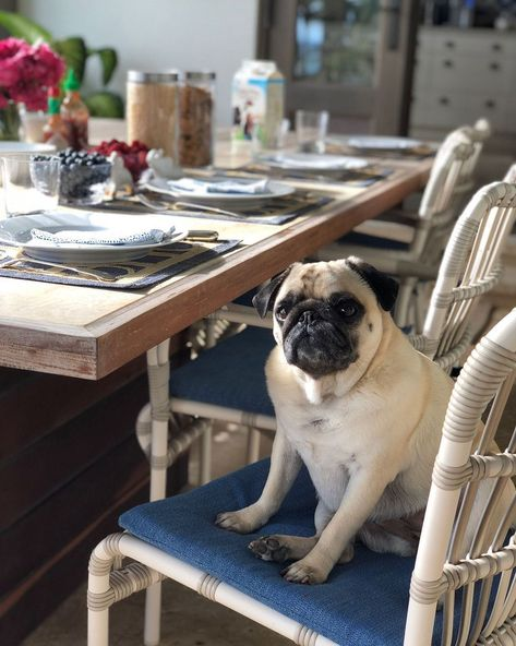 Penelope prefers to take her breakfast on a tray in bed, as she fully believes herself to be Lady Grantham. On very special occasions (specifically, when she hears that pancakes are on the menu) she will however grace us with a petit déjeuner appearance. ⠀⠀⠀⠀⠀⠀⠀⠀⠀ #penelopethepug #poshpug #pugsofinstagram #pugsnotdrugs #puglife #brunch #breakfast #gathersafely #setthetable #hostesswiththemostess #headofthetable #queenofthehouse #specialoccasion #breakfastinbed #pamperedpug #spoiledrotten