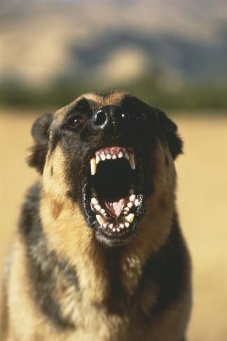 Snarling German Shepherd Photographic Print By Dlillc Angry