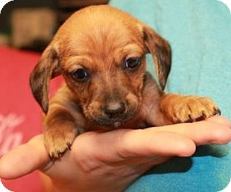 Genoa City Wi Dachshund Chihuahua Mix Meet Pickles A Puppy For