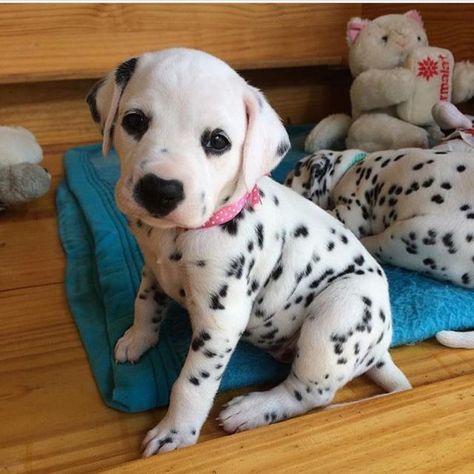 Cool Dalmation Chubby Adorable Dog - 03baf3fdae2244fea31febcb30bbb84f--coach-baby-animals  Picture_386739  .jpg