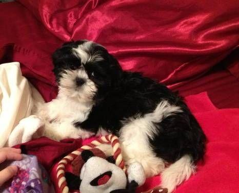 Beautiful Black White Female Shih Tzu Puppy Girl Shihtzu Shih Tzu Puppy Puppies Shih Tzu