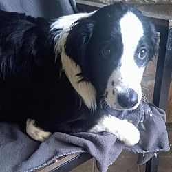 Surrey Bc Border Collie Meet Patty A Pet For Adoption