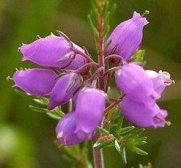 Wild Flowers Of Ireland Wildflowertattoos Heather Flower Irish Flower Wild Flowers