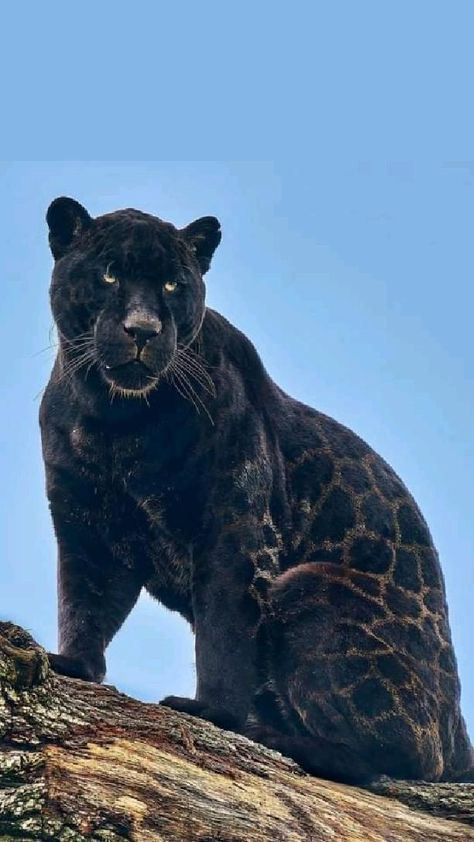 Neron.. the most beautiful black jaguar