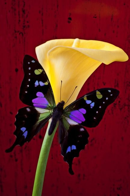 This Calla lily looks like it's wearing a bowtie!  It's actually a purple black butterfly