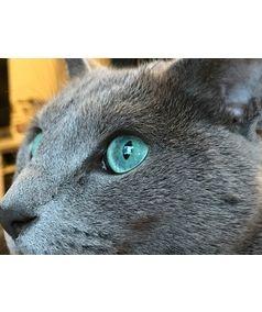 Top 10 Russian Blue Cat Basics Look Inside Russian Blue Russian Blue Cat Cute Cat Breeds