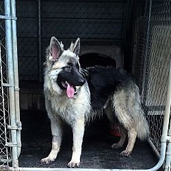 Pictures Of Atlas A German Shepherd Dog For Adoption In Portland