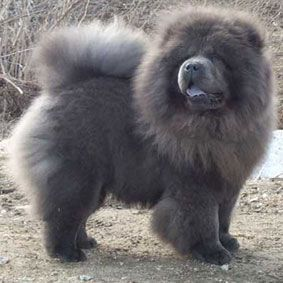 Chow Chow Blue Chowchowdog Chow Chow Dogs Chow Chow Chinese Dog