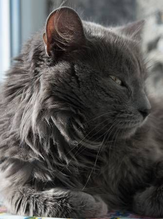 Fluffy Gray Cat With Green Eyes Ukraine In 2020 Grey Cats Nebelung Cat Cats