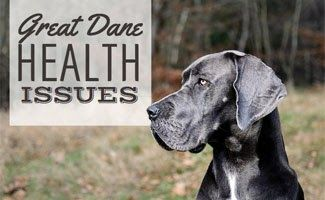 8 Great Dane Health Issues You Should Be Aware Of Great Dane Lab