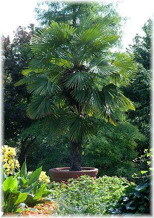 Hanf Palme Trachycarpus Fortunei Palmen Pflanzen Palmen Garten Garten