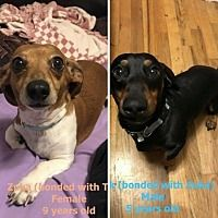 Pin By Animal Reiki Master On Available Dachshunds For Rescue