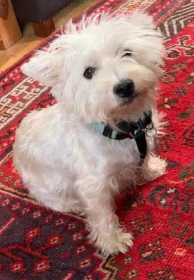 Col Potter Cairn Rescue Network Sunday Sweets Terrier Rescue