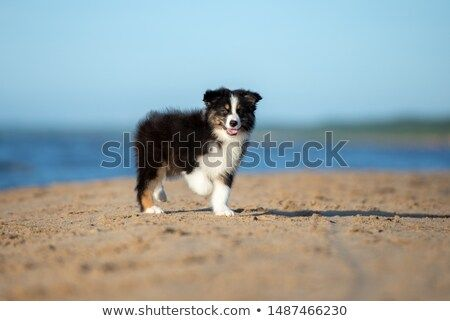 Stock Photo Tricolor Australian Shepherd Puppy Walking On The Beach Australian Shepherd Puppy Shepherd Puppies Pet Dogs