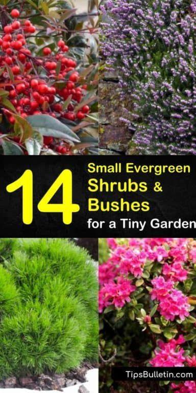 14 Small Evergreen Shrubs Bushes For A Tiny Garden Small Evergreen Shrubs Evergreen Shrubs Landscaping Shrubs