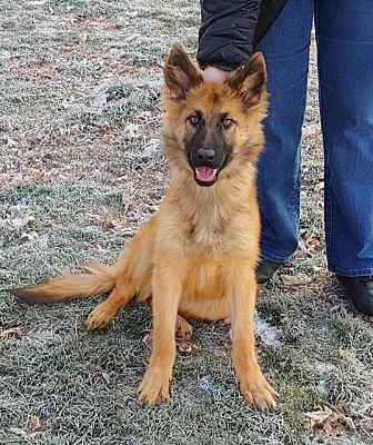 Evanston Il German Shepherd Dog Meet Addison A Pet For