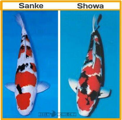 Perbedaan Koi Sanke Dan Showa